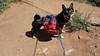 Nikko - My Shiba Inu - With Backpack- 3