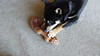 Nikko - My Shiba Inu - With Squirrel Toy - 1