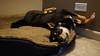 Nikko - My Shiba Inu - Sleeping - 2