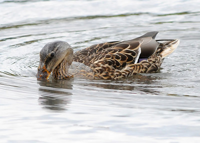 Water off a duck's back