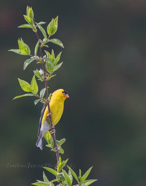 American Goldfinch, male