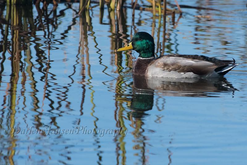 Male Mallard Duck at Horicon Marsh
