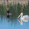 Double-crested Cormorant & American White Pelican