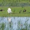 Great Egret, breeding plumage