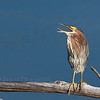 Call of the Green Heron