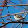 Golden-crowned Kinglet, male