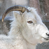 Dall Sheep at Milwaukee County Zoo