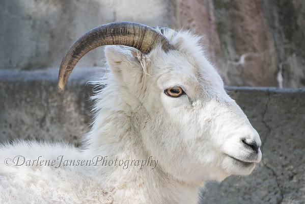 Dall Sheep at Milwaukee County Zoo
