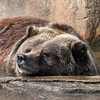 Grizzly Bear at Milwaukee County Zoo