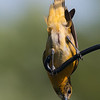 Baltimore Oriole, female