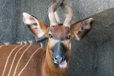 Eastern Bongo at Milwaukee County Zoo