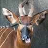 Eastern Bongo at Milwaukee County Zoo