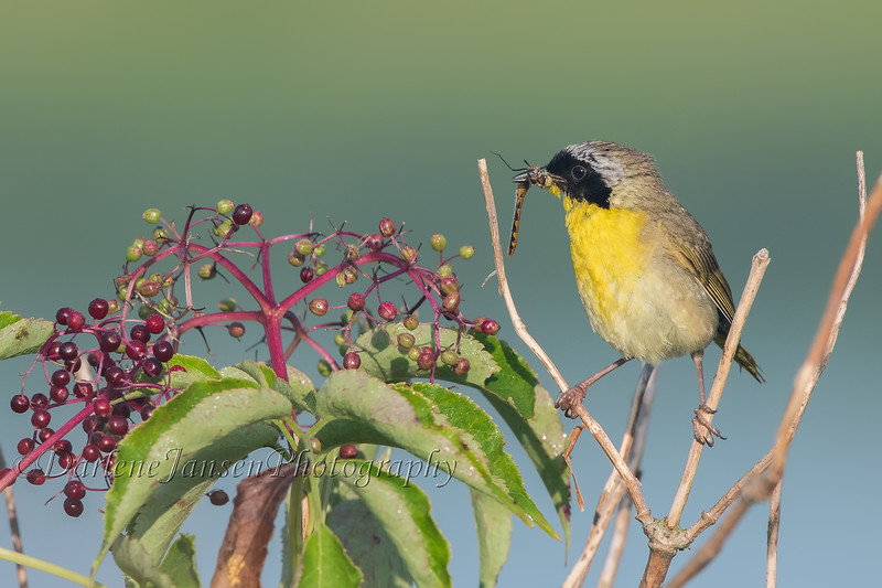 Common Yellowthroat  with insect