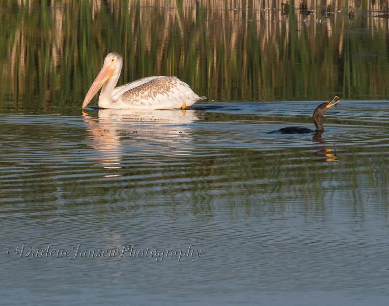 American White Pelican & Double-crested Cormorant