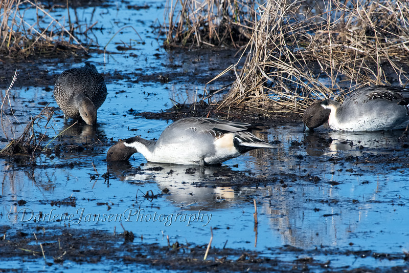 Northern Pintail at Horicon Marsh