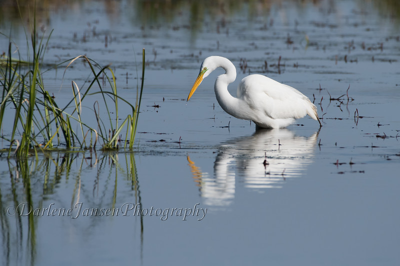 Great Egret on a Spring Morning