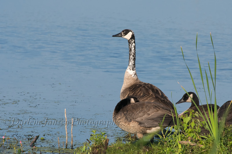 Canadian Goose with Young