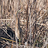 American Bittern at Horicon Marsh