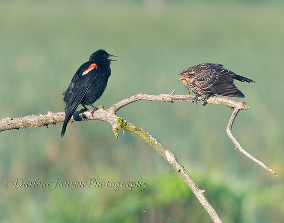 Male Red-winged Blackbird with young