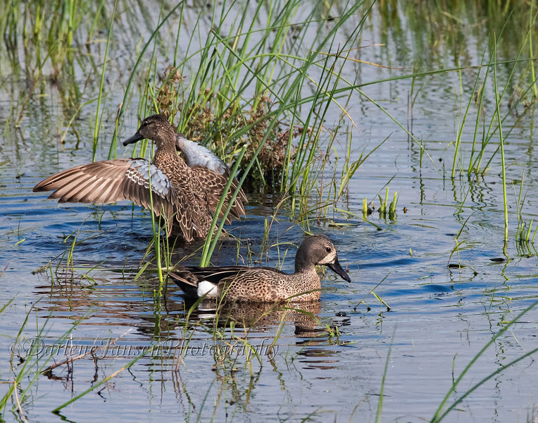 Blue-winged Teal, pair