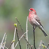 House Finch, male