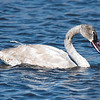 Juvenile Trumpeter Swan at Horicon Marsh
