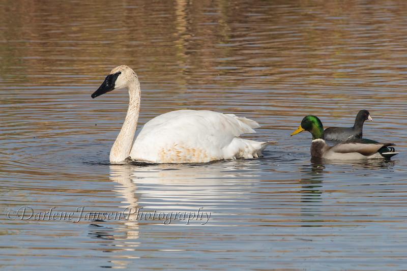 Trumpeter Swan, Male Mallard Duck & American Coot