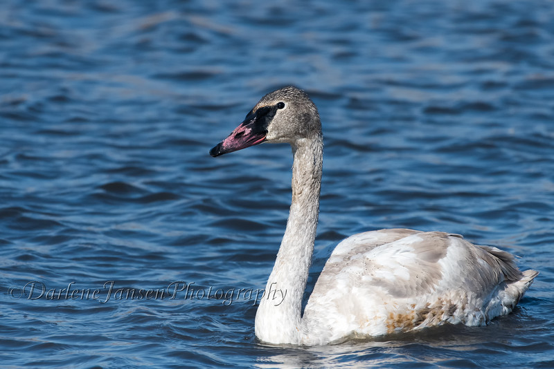 Trumpeter Swan, juvenile, at Horicon Marsh