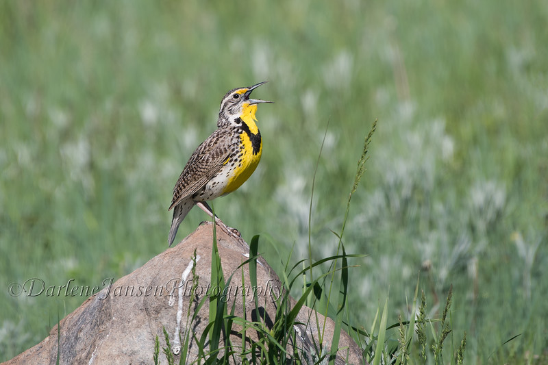 Western Meadowlark, singing