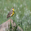 Western Meadowlark, singing