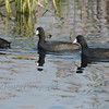American Coot at Horicon Marsh