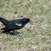 Red-winged Blackbird, male