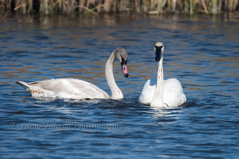 Trumpeter Swans, juvenile & adult at Horicon Marsh