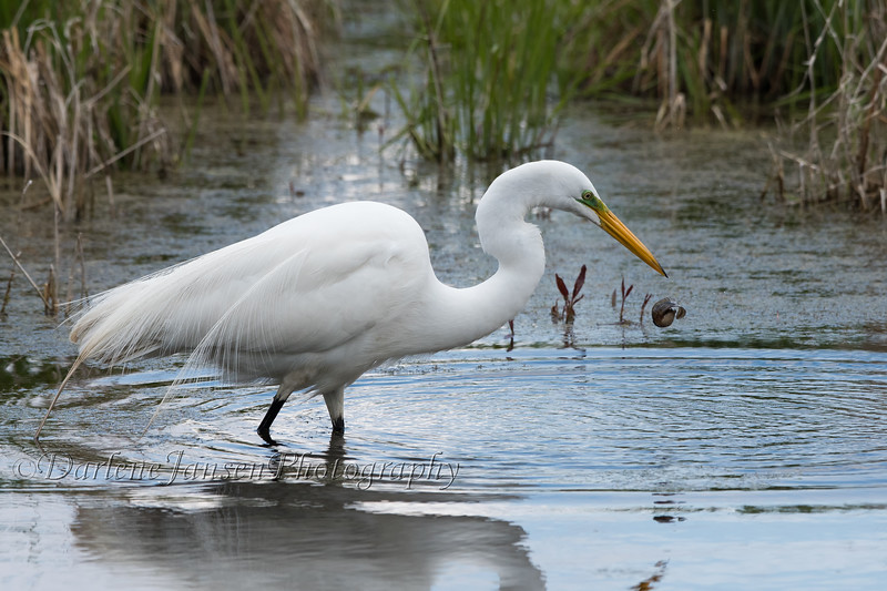 Great Egret with tadpole