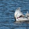 Trumpeter Swan, juvenile preening