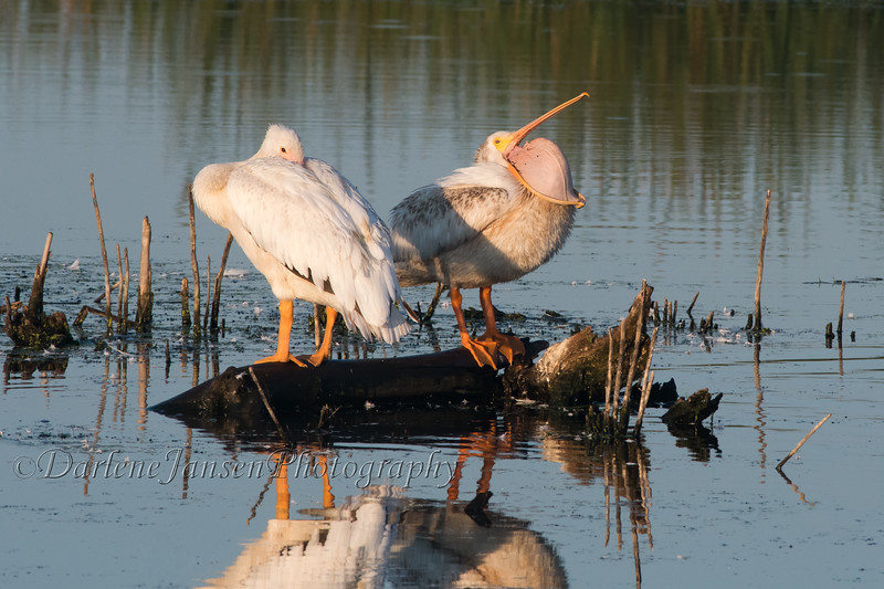 American White Pelicans in early morning light