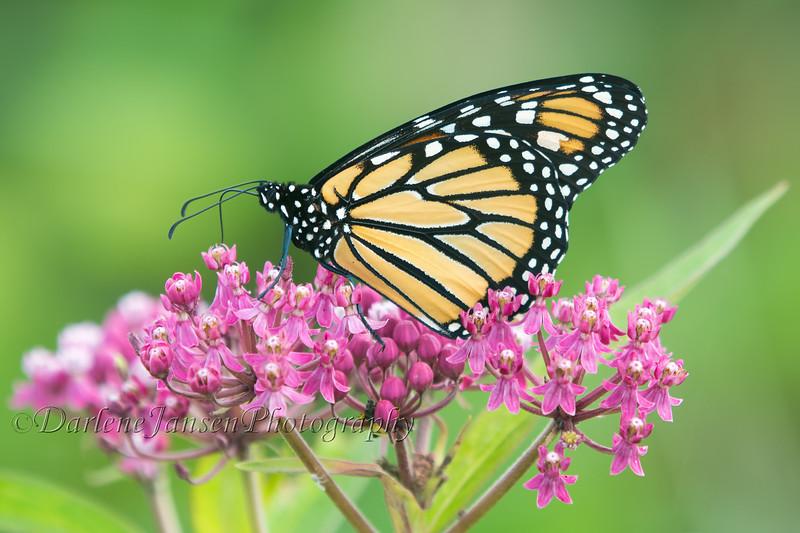 Monarch Butterfly on Swamp Milkweed