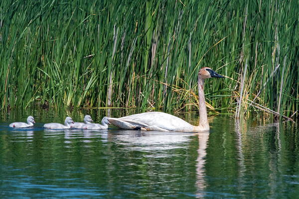 Trumpeter Swan with Cygnets