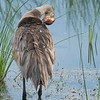 Sandhill Crane, female