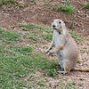 Prairie Dog, female