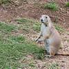 Prairie Dog, female