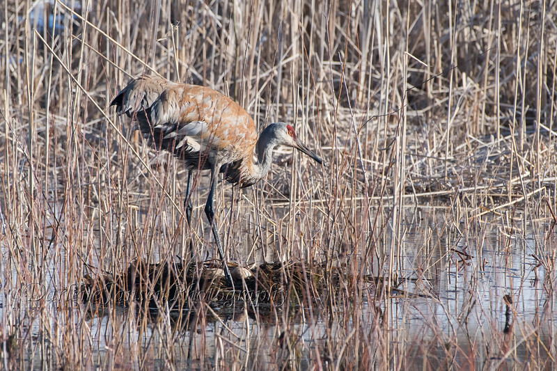Sandhill Crane on nest with two eggs