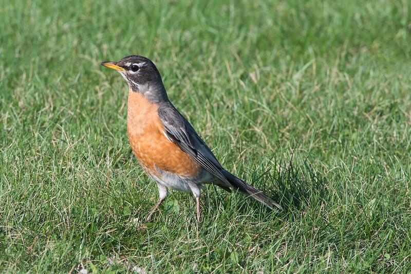 American Robin, female