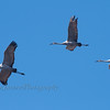 Sandhill Cranes at Horicon Marsh