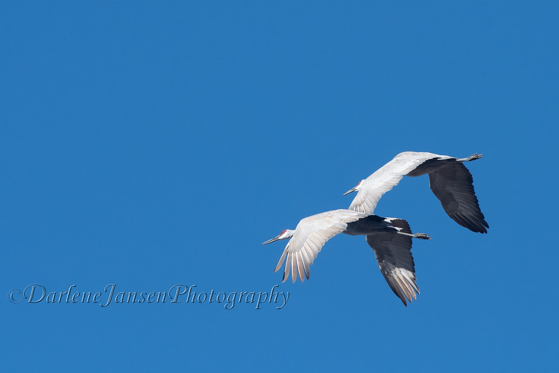Sandhill Cranes at Horicon Marsh