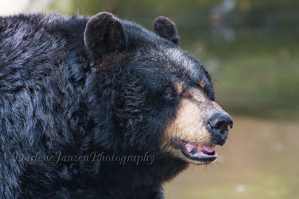 Black Bear Milwaukee County Zoo