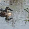Northern Shoveler, Male Juvenile at Horicon Marsh