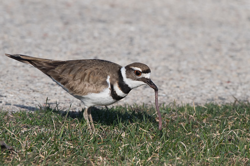 Killdeer with Catch of the Day