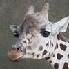 Giraffe at Milwaukee County Zoo