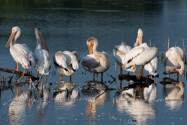American White Pelicans, preening